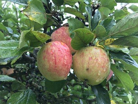 Čerstvé ovoce z vlastního stromu