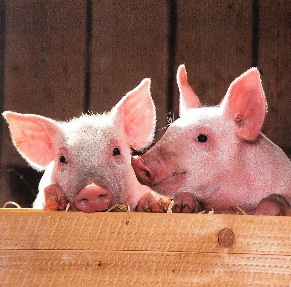 Chcete chovat prasata? Tohle byste měli vědět